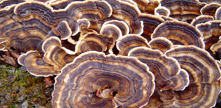 Turkey Tail Extract Powder