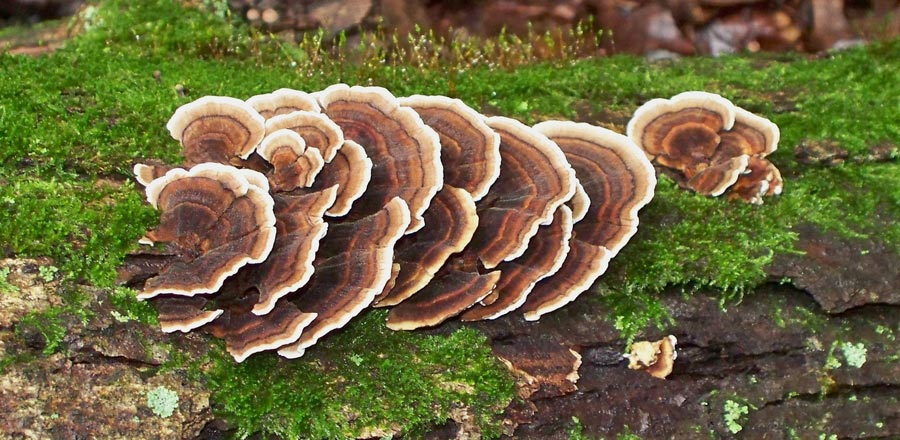 turkey tail cancer
